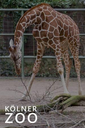 """Giraffe beugt ihren langen Hals während des Fressens, über dem Bildtitel """"Kölner Zoo"""""""