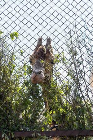 Giraffe im Moskauer Zoo
