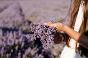Girl hand holding a bouquet of fresh lavender in lavender field