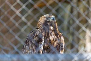 Golden eagle in Moscow zoo