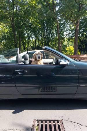 Golden Retriever als Beifahrer im Cabrio