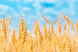Goldene Ähren des Getreidefeldes erstrecken sich unter der Sonne über den bläulichen Himmel