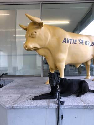 Goldener Bulle mit Aktie Gelb Aufschrift und ein schwarzer Hund mit Blick in die Kamera