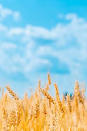 Goldenes Weizenfeld auf dem Land, vor einem blauen, bewölkten Himmel