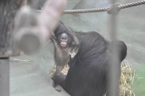 Gorilla-Baby im Kölner Zoo