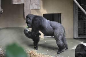 Gorilla beim Essen im Kölner Zoo