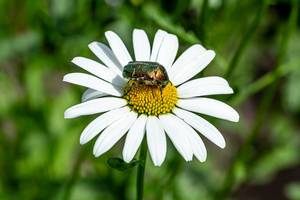 Green beetle on chamomile close-up