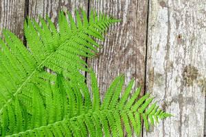 Green fern leaves ( Blechnum spicant ) on wooden background (Flip 2019)