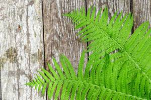 Green fern leaves ( Blechnum spicant ) on wooden background
