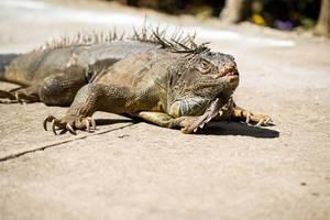 Green iguana on cement floor (Flip 2019)