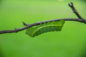 Green Larva in a Branch