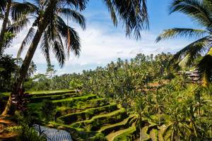Green rice field in Bali