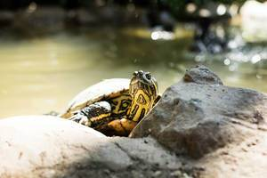 Green slider turtle