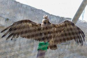 Griffon vulture in Moscow zoo