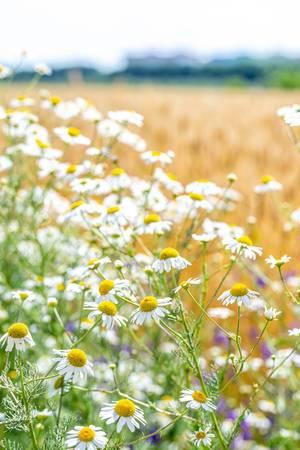 Große Gänseblümchen in einem Feld im Sommer auf dem Land