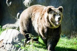 Großer Braunbär