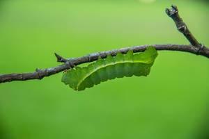 Grüne Raupe haftet kopfüber an einem Ast