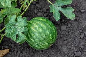 Grüne Wassermelone am Strauch im Garten, mit Blättern