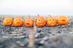 Halloween pumpkins on a scary field (Flip 2019)