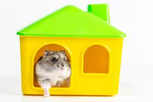 Hamster comes out of his yellow house