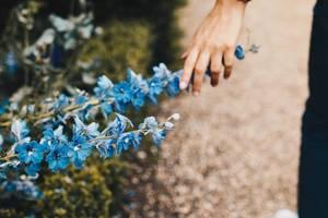 Hand berührt blaue Blumen auf einem Feld. Nahaufnahme