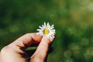 Hand holding daisy on green grass background. Spring