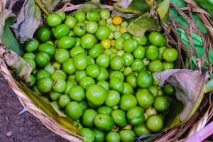 Harvested green tomatoes in basket (Flip 2019)