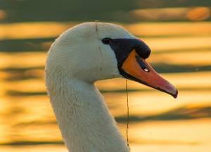 Head of swan