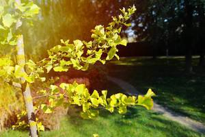 Herbst im Park: Zweige mit grün-gelben Blättern