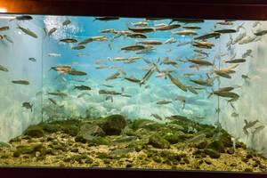 Heringsmaräne (Coregonus clupeaformis) im Shedd Aquarium