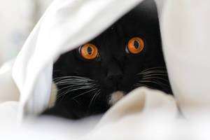 Hidden Cat in white sheet