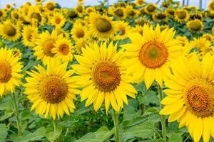 Hintergrundbild eines Sonnenblumenfelds mit grünen Blättern