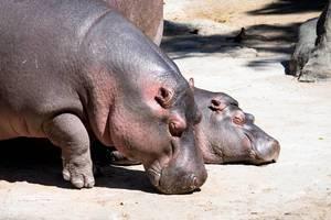 Hippopotami taking a sunbath