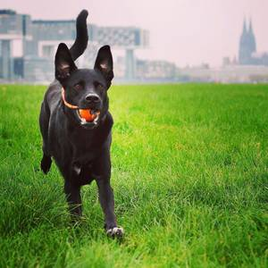 Home is where the Dom* is. ⛪️#thisiscologne #koellelive #puppylove #laboftheday *Cologne Cathredal