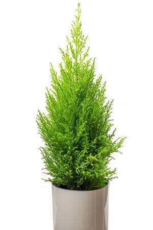 Houseplant cypress in a white pot (Flip 2019)
