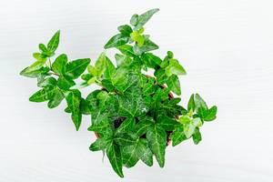 Houseplant ivy on white background