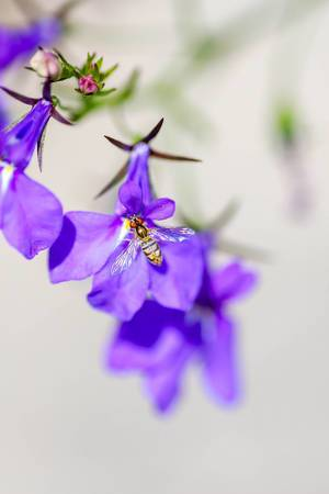 Hover Fly: close up small purple flowers with  fly