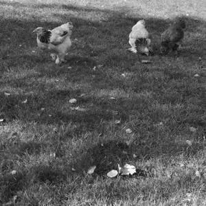 Hühner im Lindenthaler Tierpark