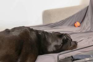 Hund legt seinen Kopf auf das Sofa, und wartet auf das Zeichen seines Herrchens, um auf das Möbelstück zu springen