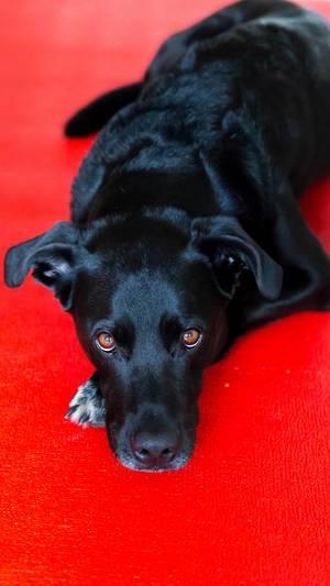 Hund liegt auf rotem Teppich und blickt in die Kamera