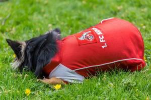 Hund mit 1. FC Köln Trikot
