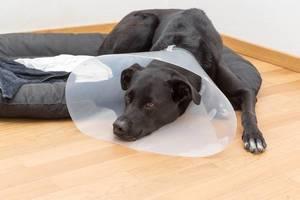 Hund mit durchsichtiger Halskrause