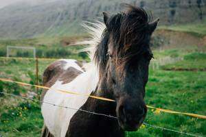 Icelandic horse by the mountain / Islandpferd durch den Berg