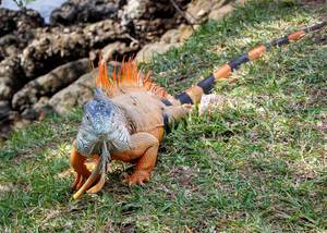 Iguana walking in the grass