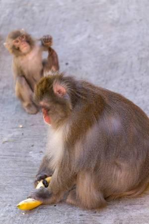 Japanese macaque eating bananas
