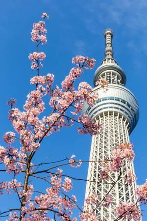 Japanische Kirschblüte und das Skytree im Hintergrund, Tokyo