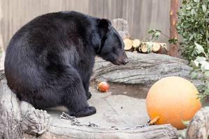 Japanischer Schwarzbär