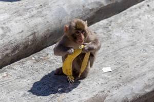 Japanmakak mit einer Bananenschale