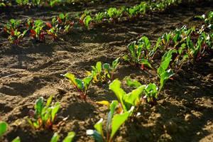 Junge rote Bete Pflanzen angereiht in Gemüsebeet