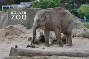 """Junger Elefant riecht mit dem Rüssel an einem Häufchen in seinem Freigehege, neben dem Bildtitel """"Kölner Zoo"""""""